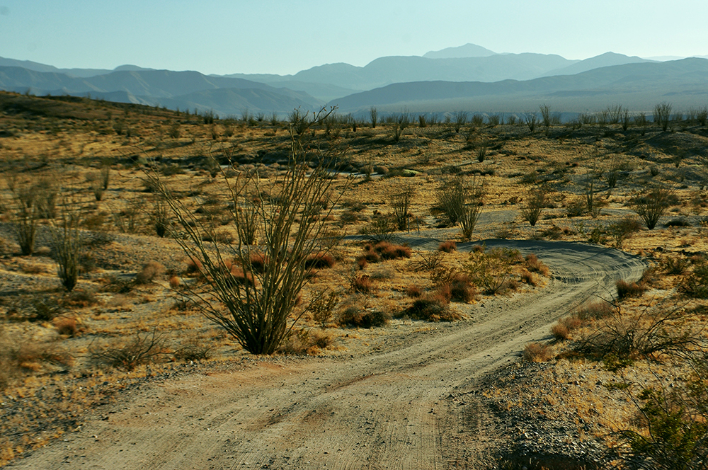 photo - ocotillo