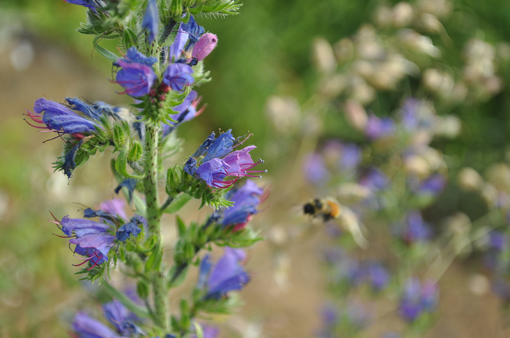 photo - vipers bugloss