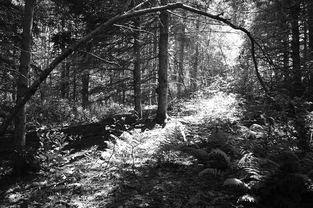 photo - black and white forest