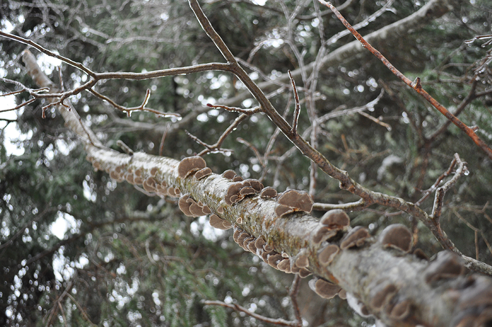 photo - ice branch